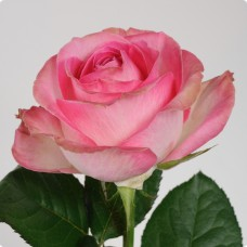Розовые розы поштучно (min 15 шт.)