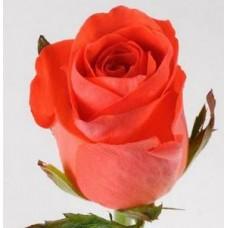 Коралловые розы поштучно (min 15 шт.)