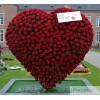 Розы, как знак внимания любимым кумирам