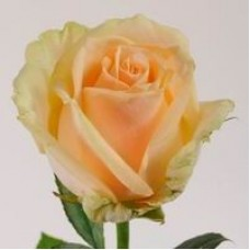 Персиковые розы поштучно (min 15 шт.)