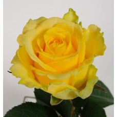 Желтые розы поштучно (min 15 шт.)