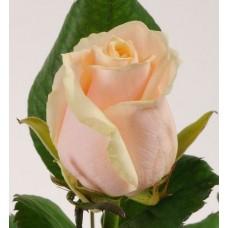 Кремовые розы поштучно (min 15 шт.)