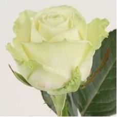 Белые розы поштучно (min 15 шт.)