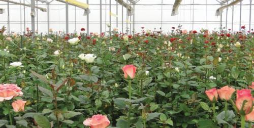 Свежесрезанные розы